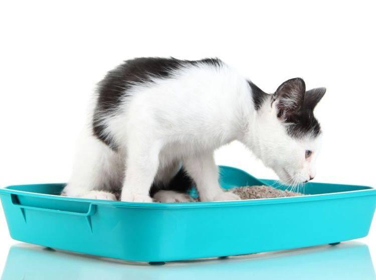 Katzenstreu im Test: Jede Katze hat ihre eigenen Vorlieben – Bild: Shutterstock / Africa Studio