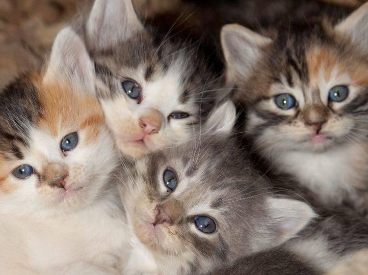 Ab der 5. Woche beginnen für Katzenbabys die ersten kleinen Abenteuer – Bild: Shutterstock / Tami Freed
