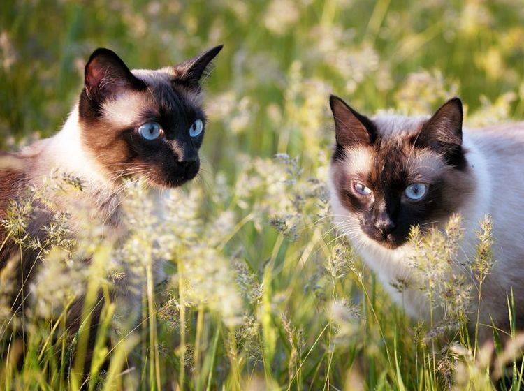 Freigang im Doppelpack: Perfekt für Siamkatzen – Bild: Shutterstock / Bershadsky Yuri