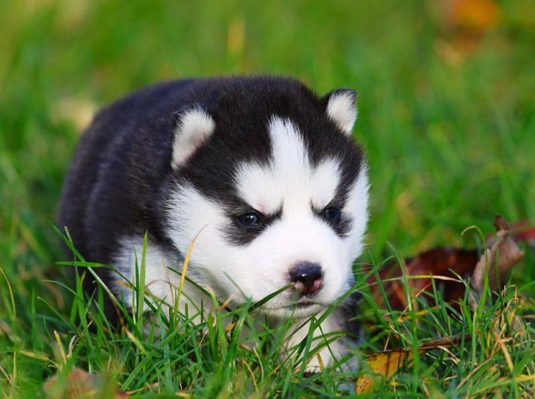 Kleiner Husky auf der großen Wiese: Was für ein süßer kleiner Wonneproppen – Bild: Shutterstock / Sbolotova