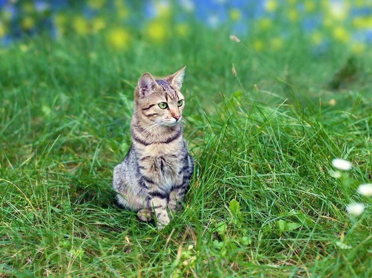 Können Zecken bei Katzen Borreliose oder FSME übertragen? – Bild: Shutterstock / vvvita
