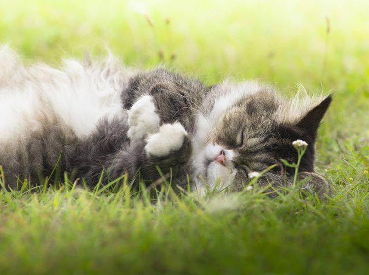 Schwere Entscheidung: Wann sollte man eine alterschwache Katze einschläfern? – Bild: Shutterstock / VICUSCHKA