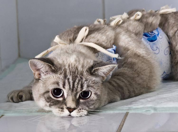 Knochenbrüche bei Katzen sind immer ein Fall für den Tierarzt – Bild: Shutterstock / Kachalkina Veronika