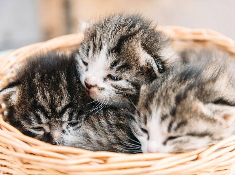 Süße Katzenbabys brauchen süße Katzennamen – Bild: Shutterstock / Poprotskiy Alexey