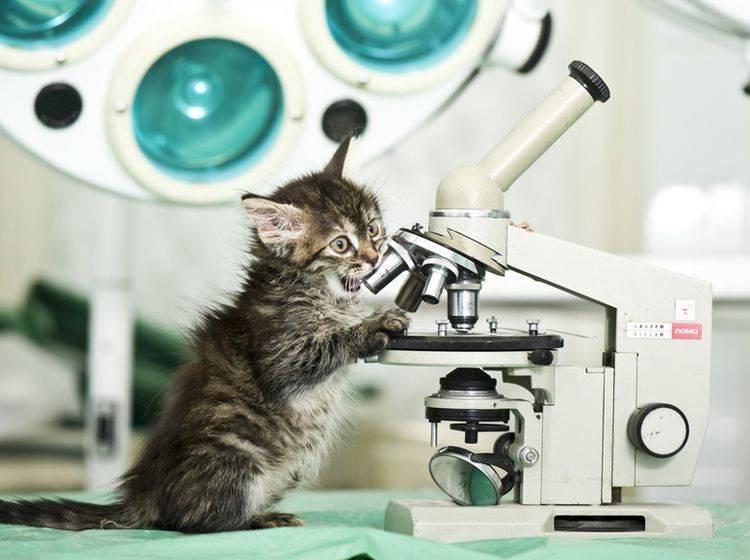 Ist eine Impfung gegen Tollwut bei Katzen wirklich nötig? – Bild: Shutterstock / Kachalkina Veronika