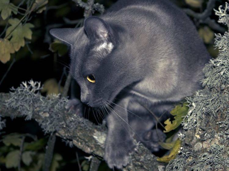 Eine blaue Burma-Katze bei Nacht: Wunderschön und faszinierend, oder? – Bild: Shutterstock / Anna Dickie