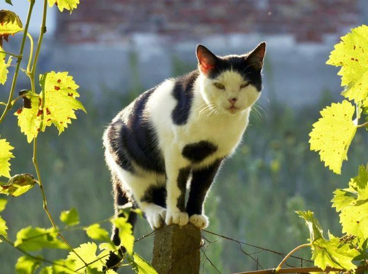 In Deutschland ist die Gefahr einer Ansteckung mit Tollwut für Katzen sehr gering – Bild: Shutterstock / goran cakmazovic