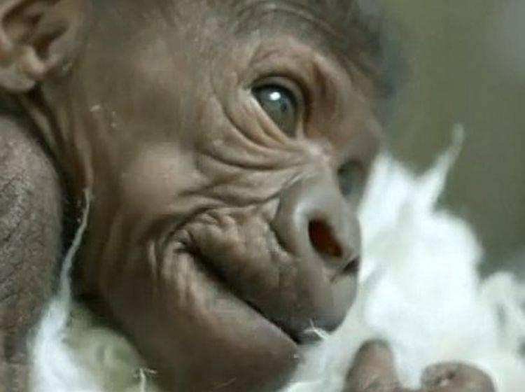 Gorilla-Baby besucht seine Mama – Bild: Myvideo
