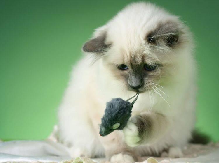 Die Heilige Birma ist eine verspielte, freundliche Katze – Bild: Shutterstock / Borkin Vadim