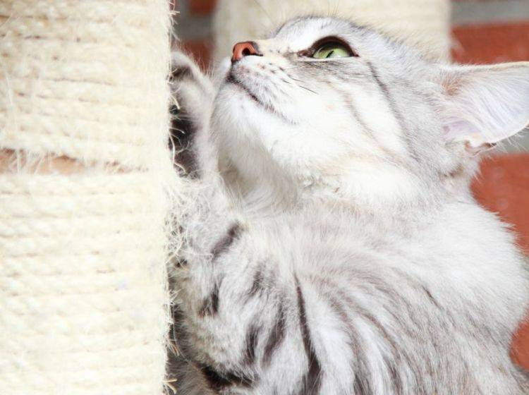Die verspielte Sibirische Katze ist ein großer Kratzbaum-Fan – Bild: Shutterstock / Massimo Cattaneo