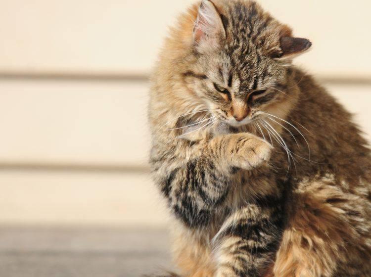 Eine struppige Katze die sich häufig kratzt könnte Haarlinge haben – Bild: Shutterstock / Nancy Bauer