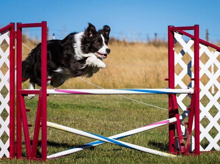 Agility in der Hunderschule oder lieber zu Hause? – Bild: Shutterstock / Lobstrosity