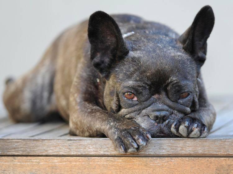 Einige Krankheiten treten besonders häufig bei Französischen Bulldoggen auf – Shutterstock / Kitch Bain