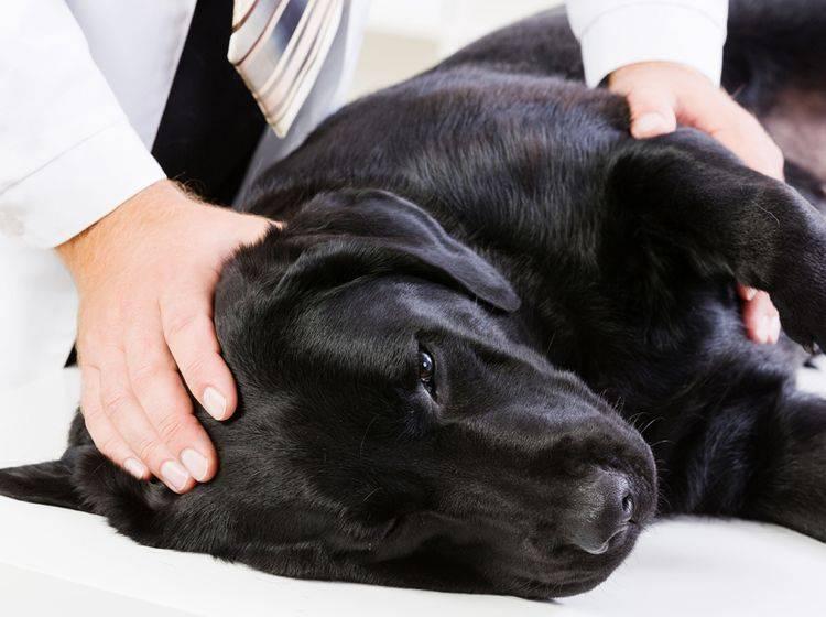 Hund nach Insektenstich: Allergische Reaktion – Bild: Shutterstock / Sergey Nivens