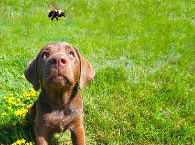 Darf der Hund Bienen und Wespen fressen? – Bild: Shutterstock / Kelly Nelson