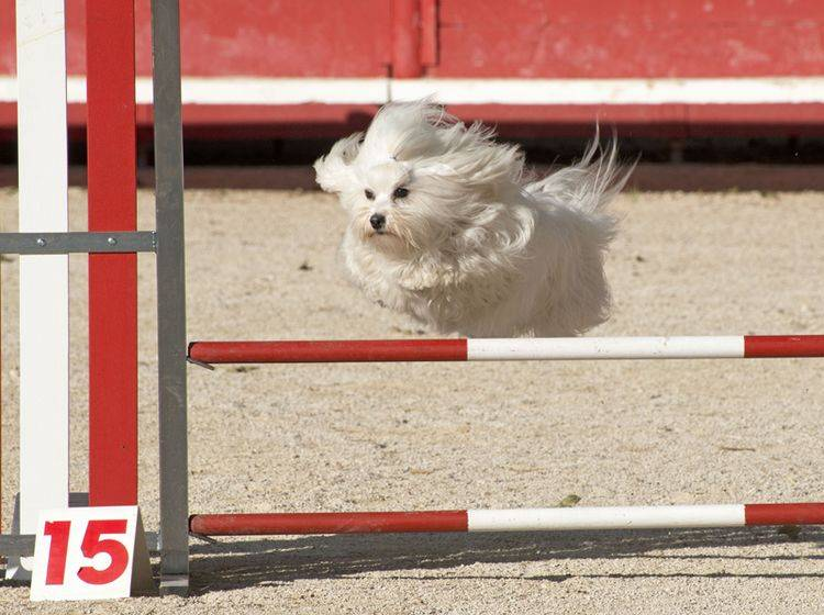 Agility mit kleinen Hunden ist im Kommen – Bild: Shutterstock / cynoclub