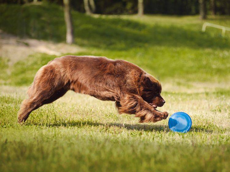 Agility mit großen Hunderassen wie Neufundländern ist nicht ganz unbedenklich – Bild: Shutterstock: Ksenia Raykova