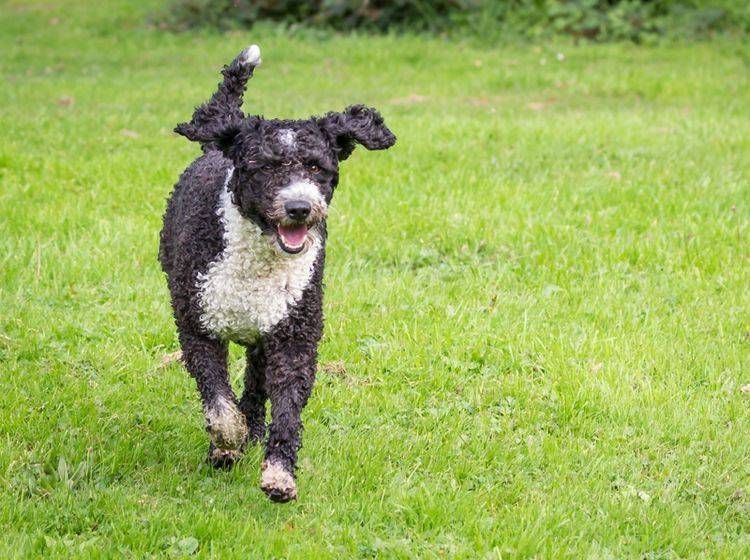 Spanische Wasserhunde: Große Hunderassen, die nicht haaren – Bild: Shutterstock / Daz Brown Photography