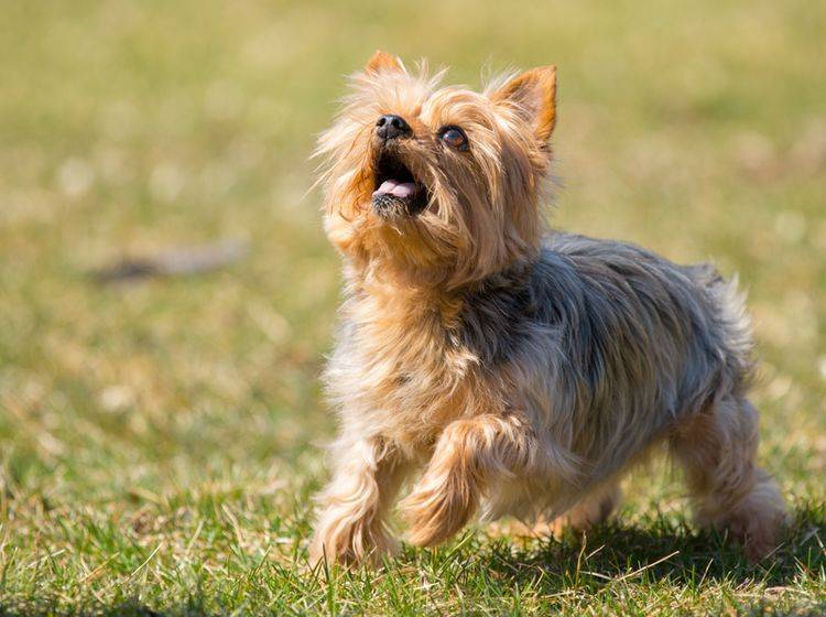 Kleine Hunderassen, die nicht haaren: Der Yorkshire Terrier gehört dazu – Bild: Shutterstock / Jennay Hitesman