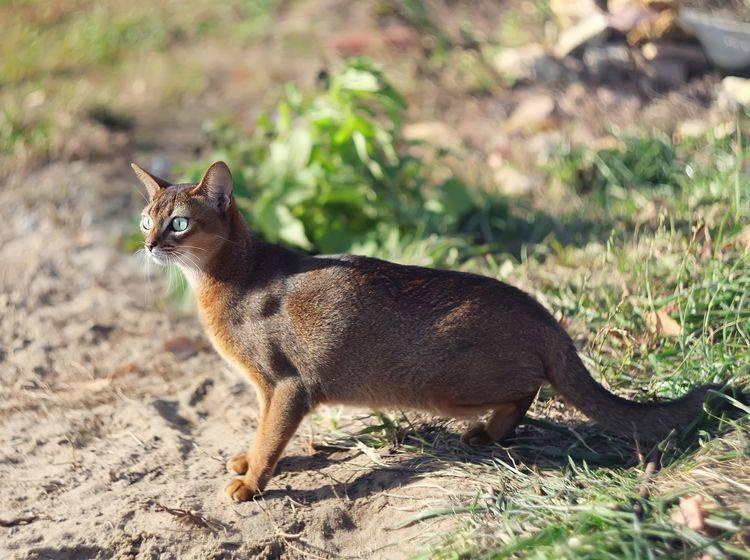 Die Abessinierkatze liebt nicht nur viel Platz in der Wohnung, sondern auch den Freigang – Bild: Shutterstock / Pshenina_m