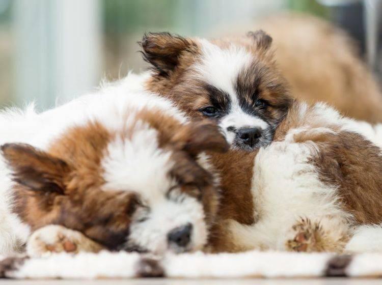 Der Elo ist ein schöner Hund mit einem feinen Charakter – Bild: Shutterstock / Christian Mueller