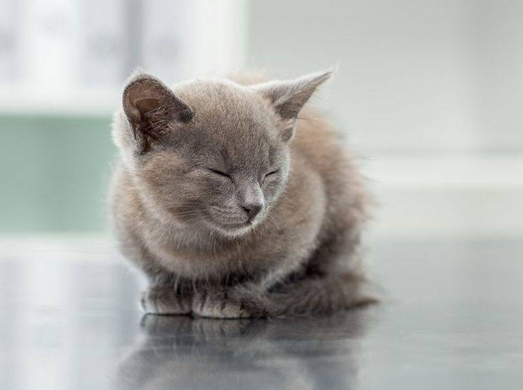 Hautpilz bricht meist nur bei jungen und kränklichen Katzen aus – Bild: Shutterstock / wavebreakmedia