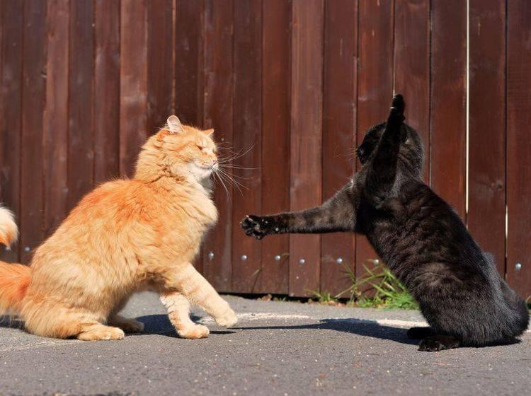 Meist werden Katzen im Kampf gebissen – Bild: Shutterstock / DavidTB