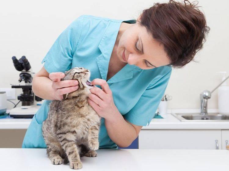 Die Behandlung einer Zahnfleischenzündung bei Katzen erfolgt beim Tierarzt – Bild: Shutterstock / sematadesign