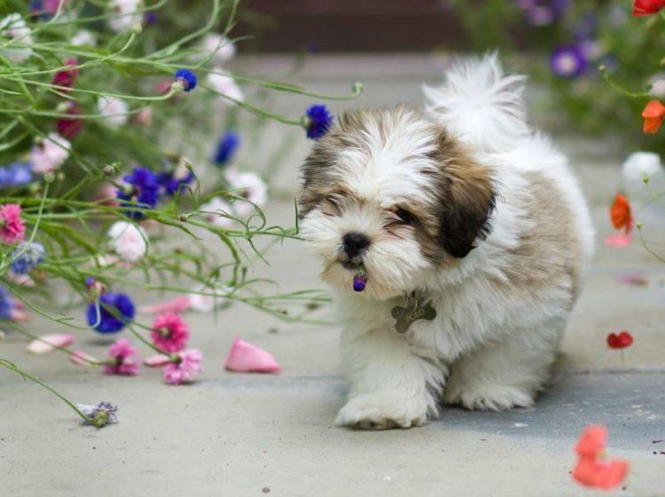 """""""Ist das schön hier draußen!"""" Der Lhasa Apso liebt Spaziergänge über alles – Bild: Shutterstock / Ruth Black"""