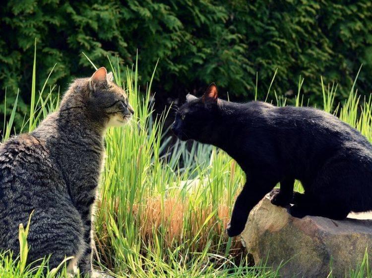 zwei-katzen-begegnen-sich-im-garten-shutterstock-DavidTB