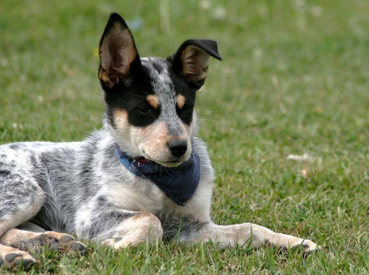 Bei der Erziehung des Australian Cattle Dog ist vor allem Konsequenz gefragt – Bild: Shutterstock / Lee ODell