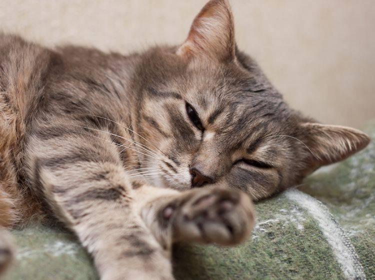 Die Behandlung der Katze mit Rheuma dient vor allem der Schmerzlinderung – Bild: Shutterstock / Katerina Makymenko