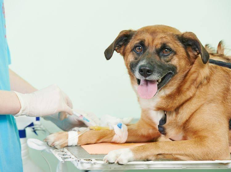 Sind wirkliche alle Reiseimpfungen für Ihren Hund sinnvoll? – Bild: Shutterstock / Dmitry Kalinovsky