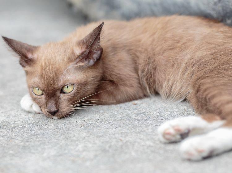 Die Symptome von Katzenpilz zeigen sich vor allem im Fell – Bild: Shutterstock / ZiZ7StockPhotos