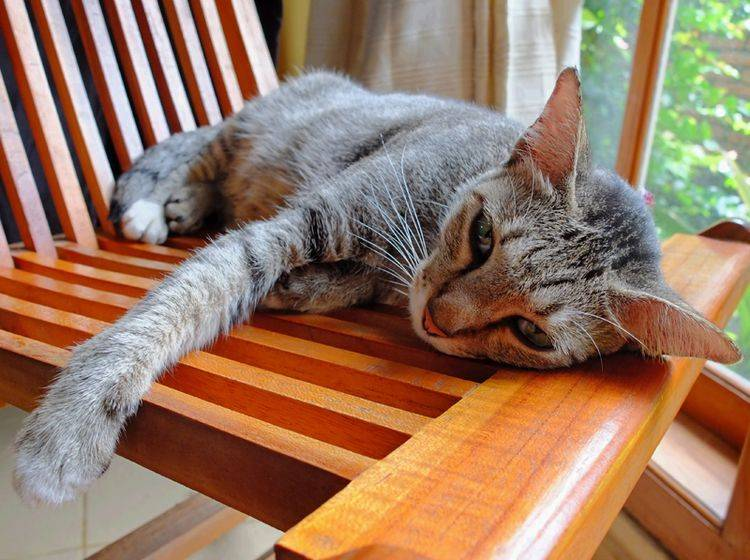 Besonders ältere Katzen leiden häufig unter Rheuma – Bild: Shutterstock / Komar