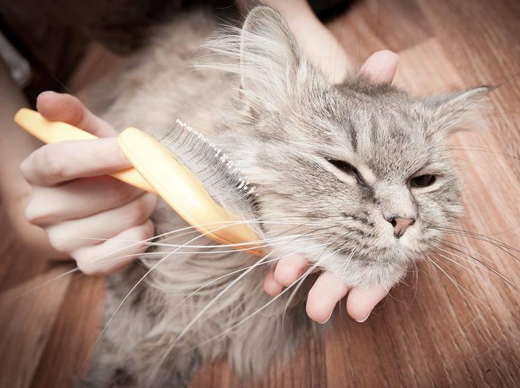 So finden Sie die richtige Bürste für Ihre Katze – Bild: Shutterstock / Telekhovskyi