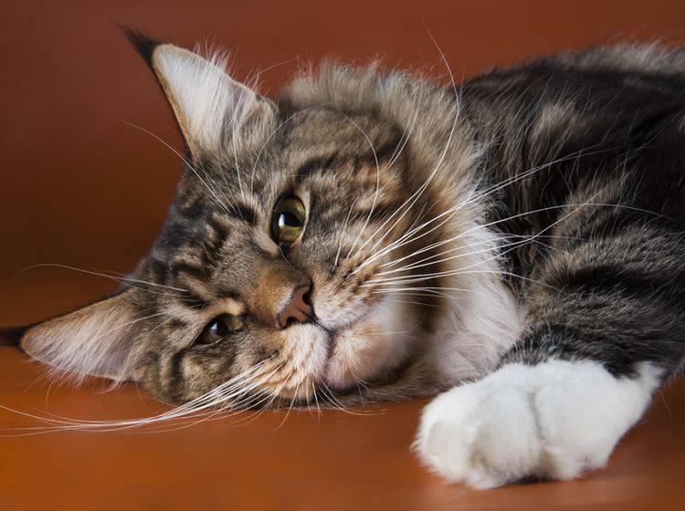 Die Maine Coon gehört zu den ruhigen Katzenrassen – Bild: Shutterstock / kuban_girl