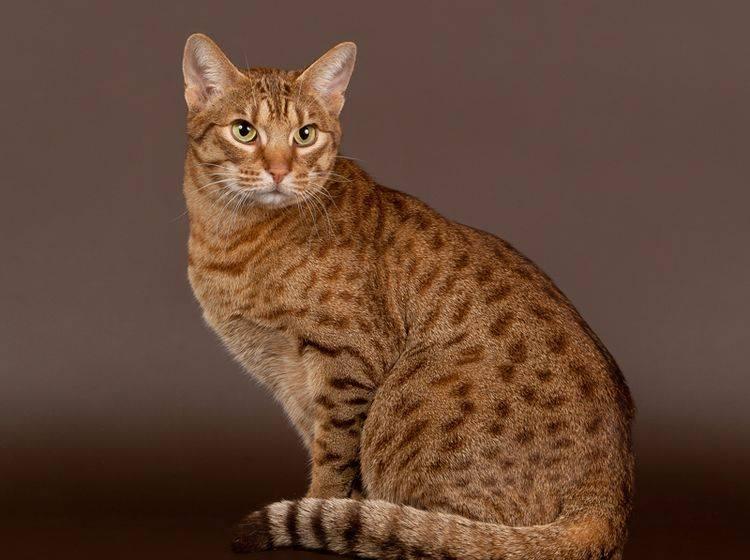 Bei der Haltung der Ocicat ist viel Freiraum wichtig – Bild: Shutterstock / dien