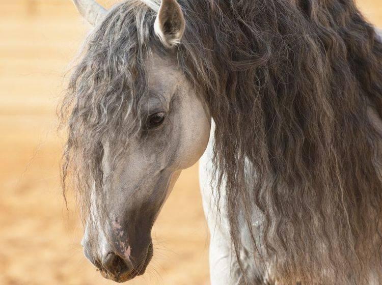 So schön ist der Andalusier: Besonders die Mähne macht dieses Pferd unverwechselbar – Bild: Shutterstock / Makarova-Viktoria