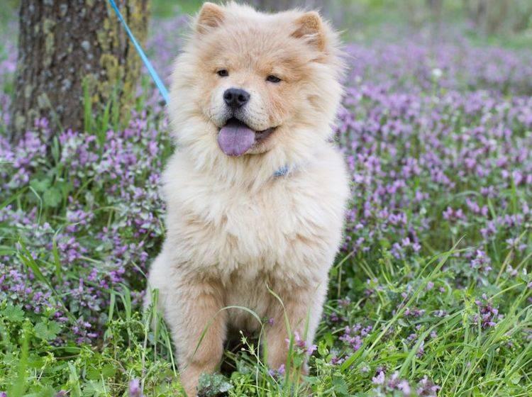 Der Chow-Chow ist ein Hund, der lange Ausflüge liebt – Bild: Shutterstock / PonomarenkoNataly