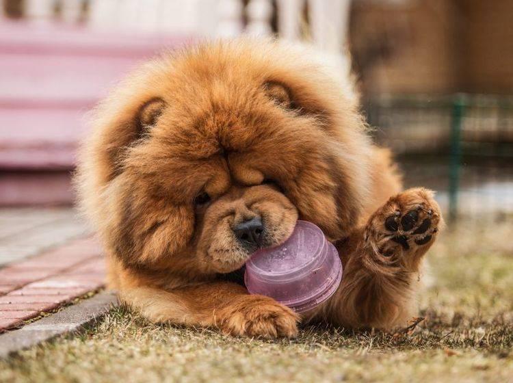 Der Chow-Chow sieht aus wie ein Teddy, aber hat seinen ganz eigenen Charakter – Bild: Shutterstock / dezi