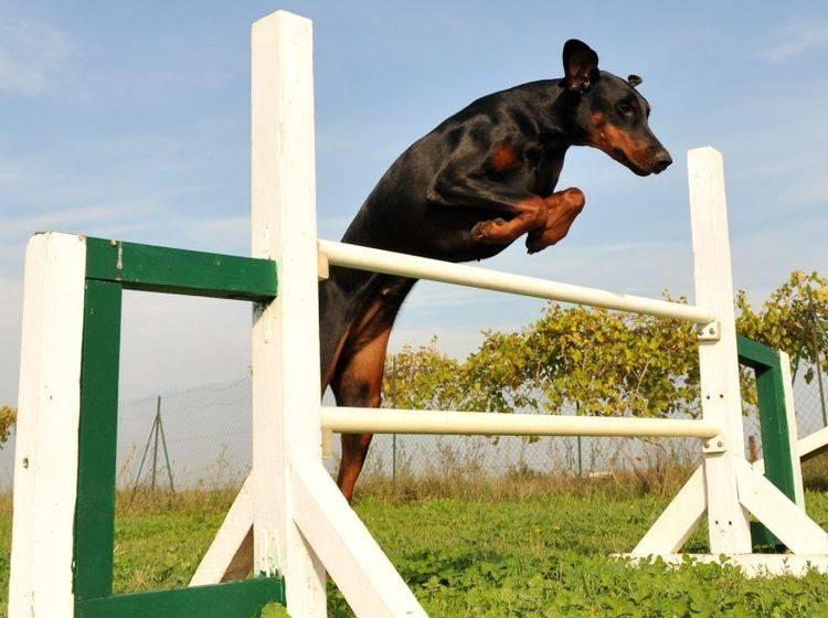 Auslastung durch Hundesport & Co. ist für den Dobermann sehr wichtig – Bild: Shutterstock / cynoclub
