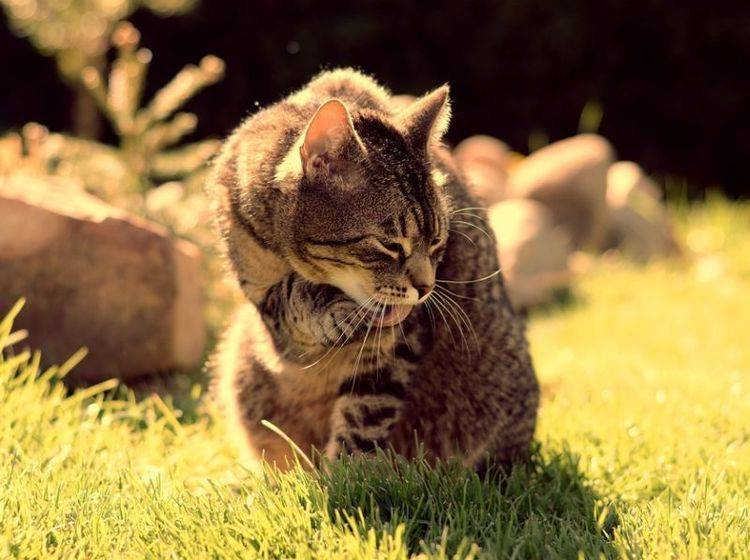 Sommer mit Katzen: Tipps für Erfrischung und Abkühlung – Bild: Shutterstock / DavidTB