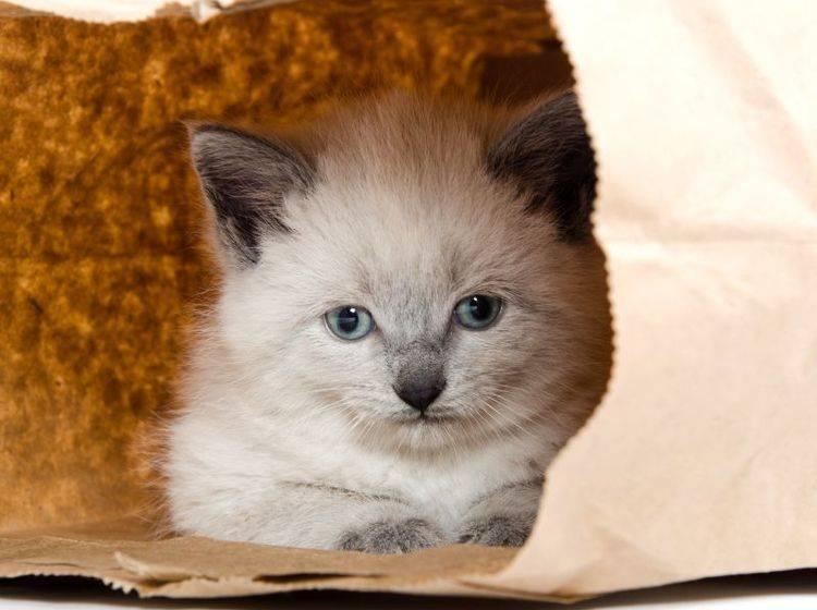 Spielen mit Katzen: Einfache Dinge wie Papiertüten sind oft besonders spannend! – Bild: Shutterstock / Tony Campbell