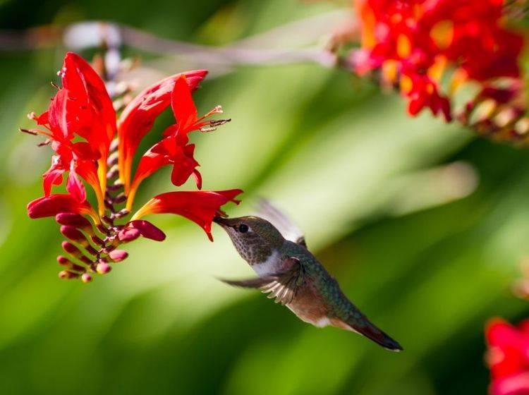 Der Kolibri gehört nicht nur zu den kleinsten, sondern auch zu den schönsten Vögeln der Welt – Bild: Shutterstock / Feng Yu