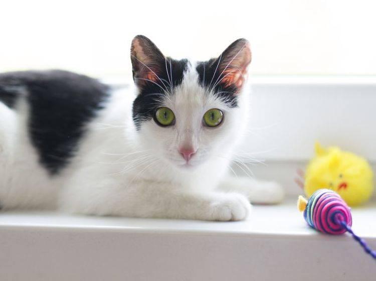 Ob mit Spielangel oder Ball: Jagdspiele machen Katzen Spaß! – Bild: Shutterstock / pyzata