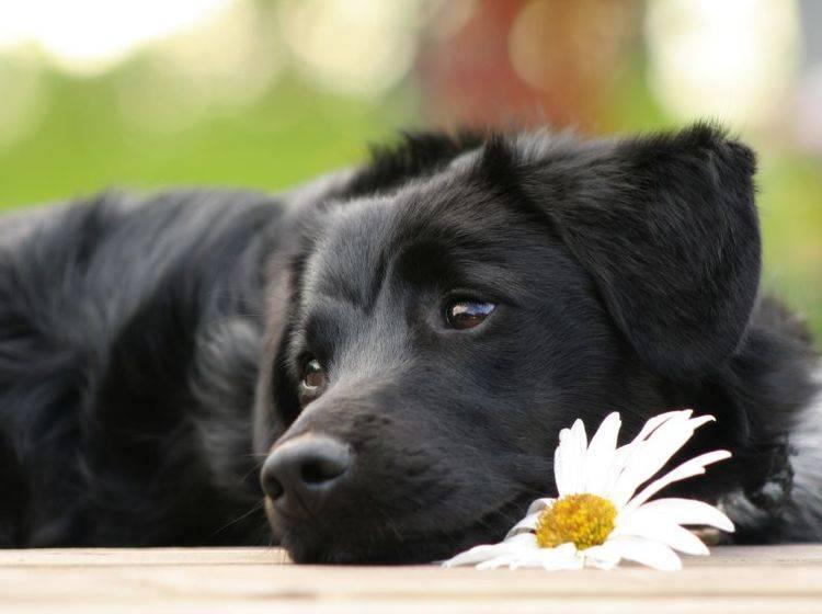Ein bisschen träumen in der Sonne: Ist dieser junge schwarze Hund nicht wunderschön? – Bild: Shutterstock / Diana Taliun
