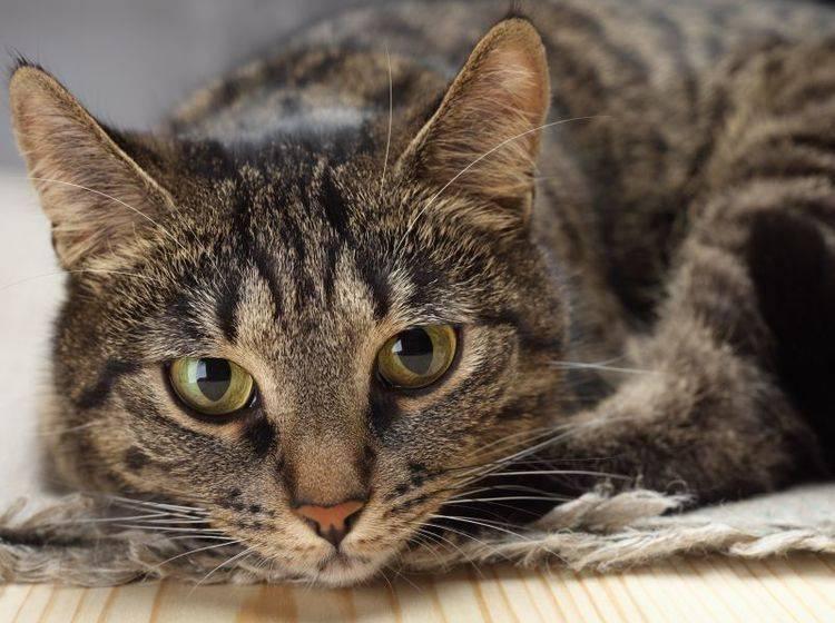 Katze alleine halten: Der Mensch kann ihr den Artgenossen nicht ersetzen – Bild: Shutterstock / 8th.creator