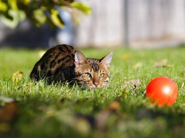 Temperamentvolle Katzenrassen sind zum Beispiel Bengalen – Bild: Shutterstock / Anna Tyurina