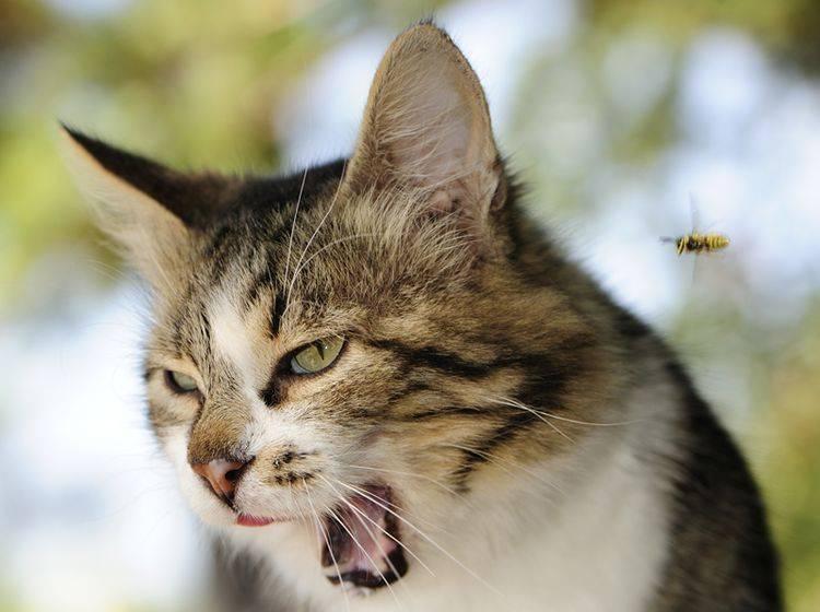 Bienenstiche bei Katzen sollten vor allem schnell gekühlt werden – Bild: Shutterstock / Andriy Solovyov